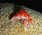 Cryptic teardrop crab (Pelia mutica)